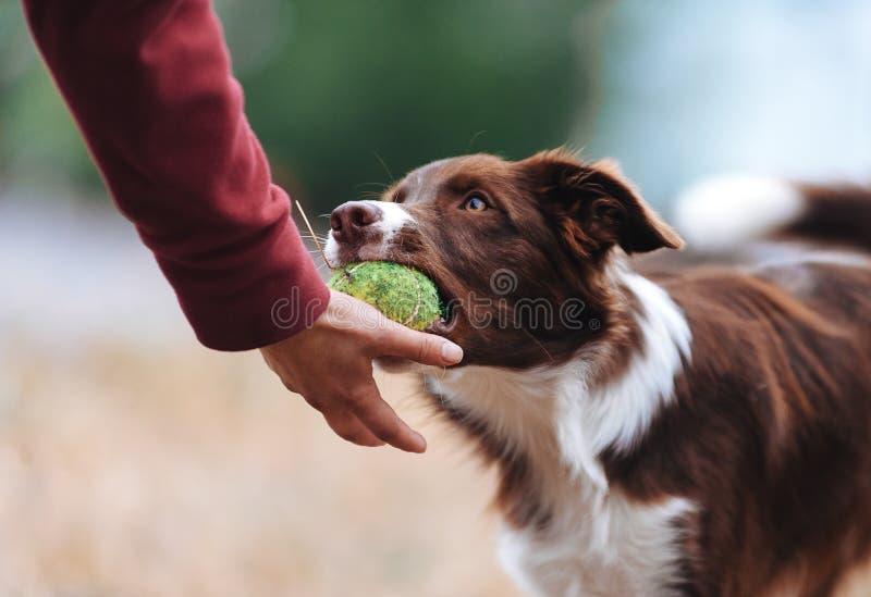 Het bruine border collie-puppy bracht de balstewardess en bepaalt zijn hand stock fotografie