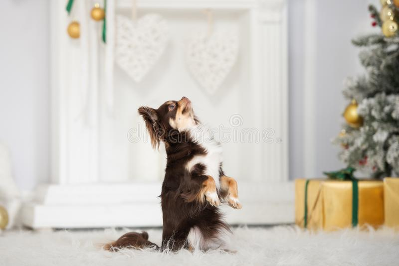 Het bruine chihuahuahond stellen binnen voor Kerstmis royalty-vrije stock fotografie