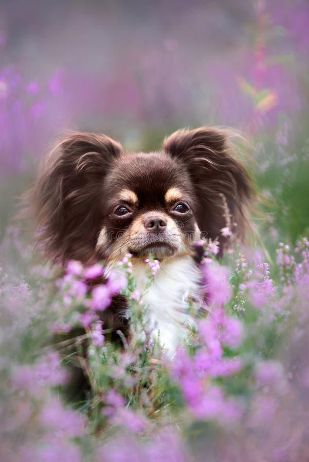 Het bruine chihuahuahond stellen in heidebloemen stock fotografie