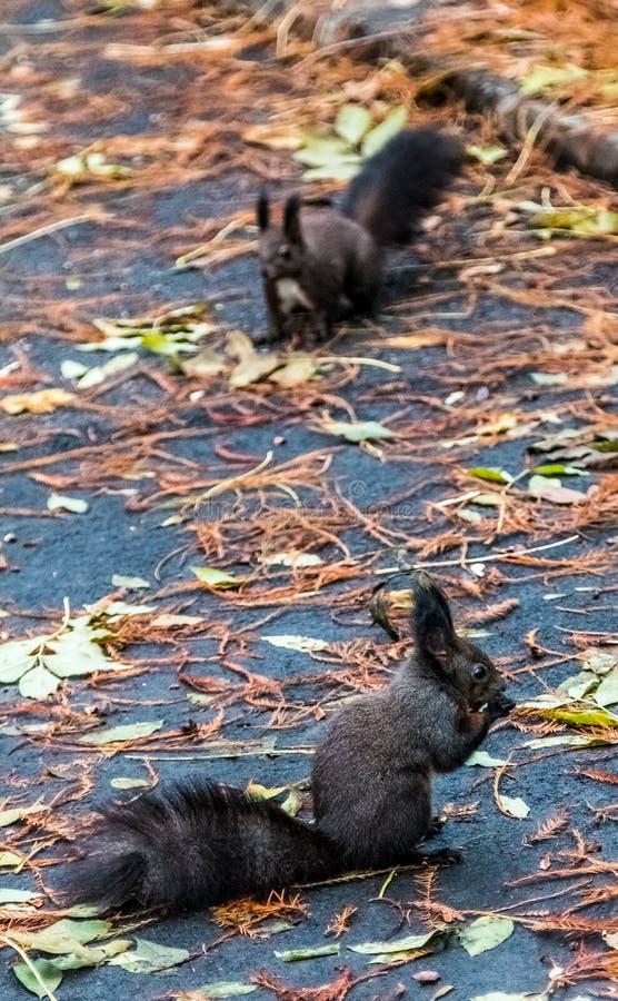 Het bruine eekhoorns eten stock afbeelding