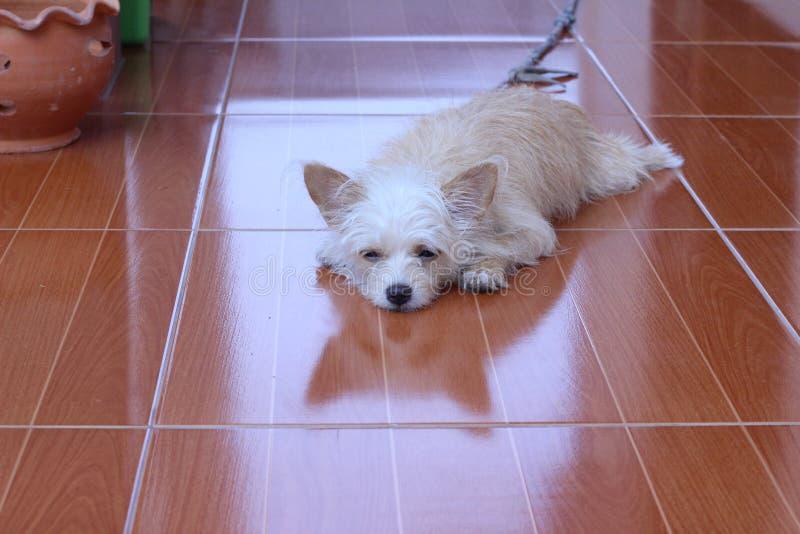 Het bruine en witte hond kijken stock afbeeldingen