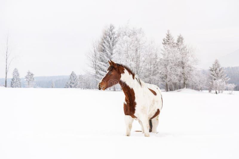 Het bruine en witte ras van paard Slowaakse warmblood op sneeuw behandelde gebied in de winter, vage boomachtergrond stock foto's