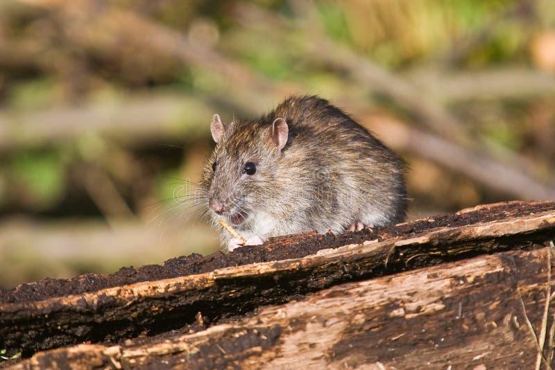 Het bruine eten van de Rat royalty-vrije stock foto's