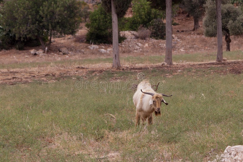 Het bruine geit weiden op het gebied stock afbeeldingen