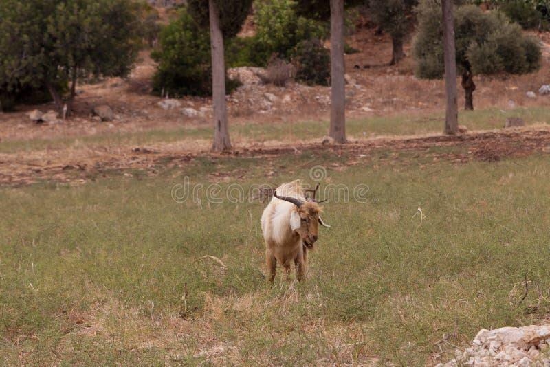 Het bruine geit weiden op het gebied royalty-vrije stock afbeelding