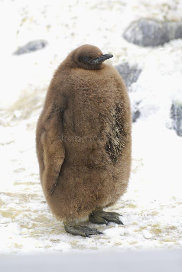 Het bruine Kuiken van de Pinguïn van de Koning royalty-vrije stock afbeeldingen