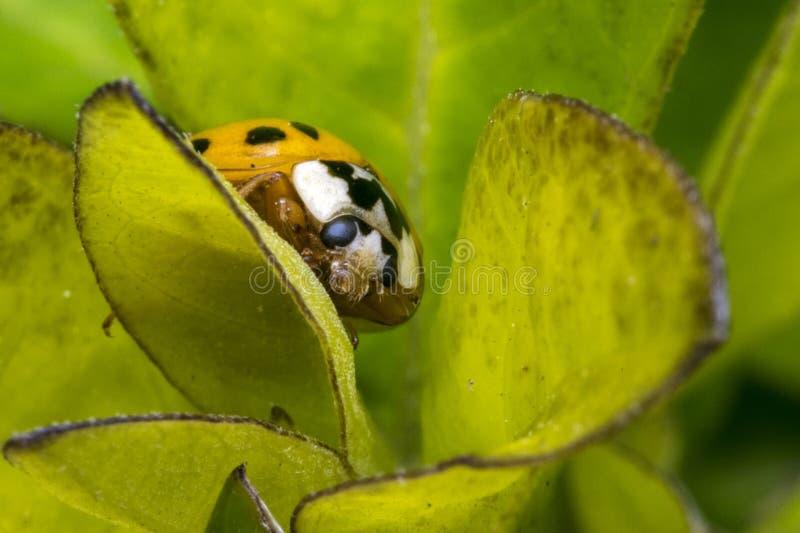 Het bruine lieveheersbeestje met zwarte punten op een installatie gaat weg stock foto