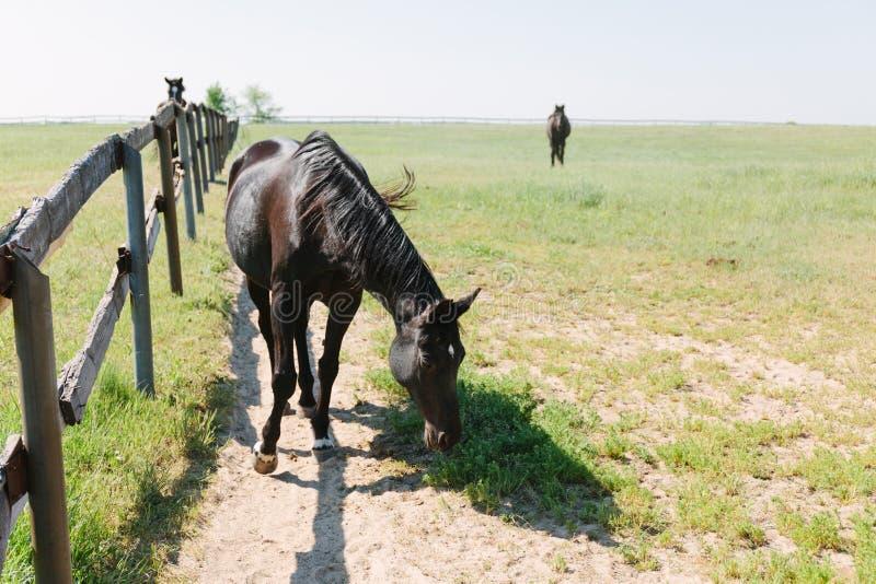 Het bruine paard drijft binnen op landbouwbedrijf bijeen Huisdier op gebied royalty-vrije stock fotografie