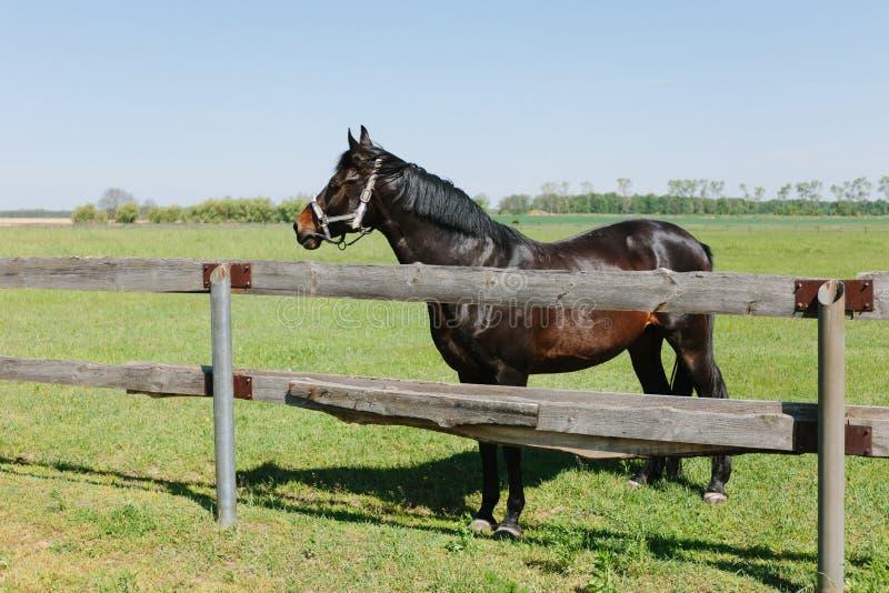 Het bruine paard drijft binnen op landbouwbedrijf bijeen Huisdier op gebied stock foto