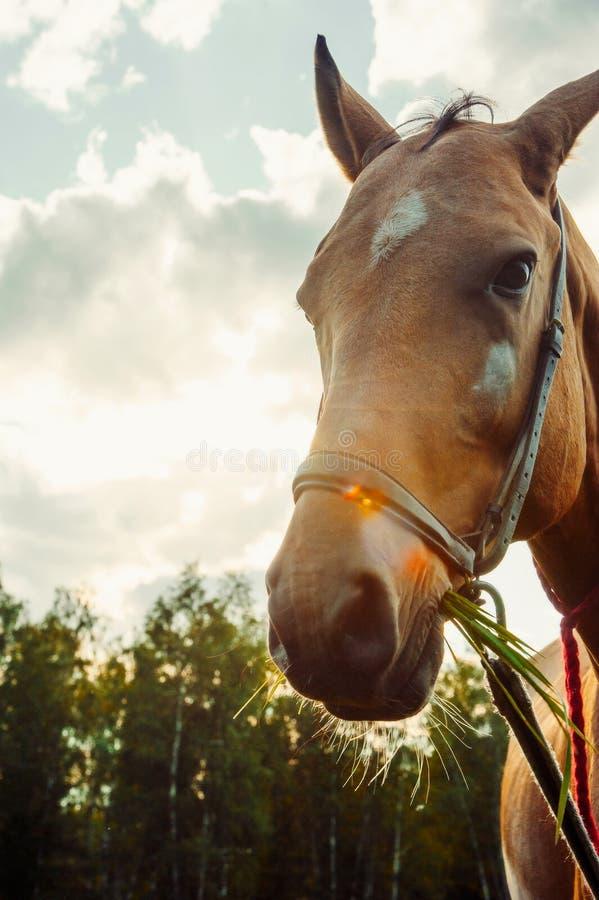 Het bruine paard eet gras op gebied tegen de zon, close-upportrai royalty-vrije stock afbeeldingen