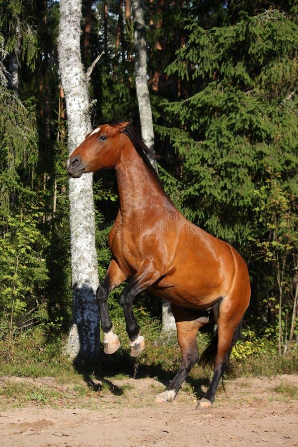 Het bruine paard grootbrengen omhoog in het bos royalty-vrije stock foto's