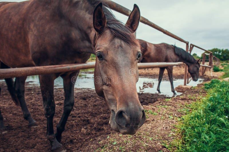 Het bruine paard in pen op landbouwbedrijf, mooi snuitpaard onderzoekt de camera royalty-vrije stock foto's