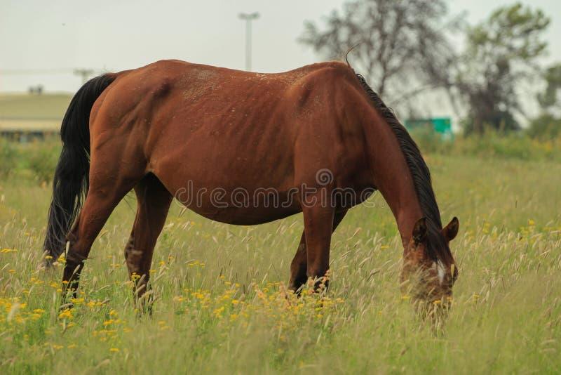 Het bruine paard weiden in een weiland stock fotografie