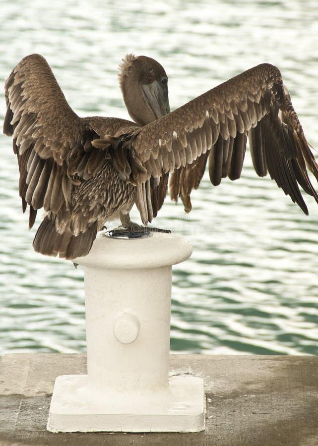 Het bruine pelikaan klappen royalty-vrije stock afbeeldingen