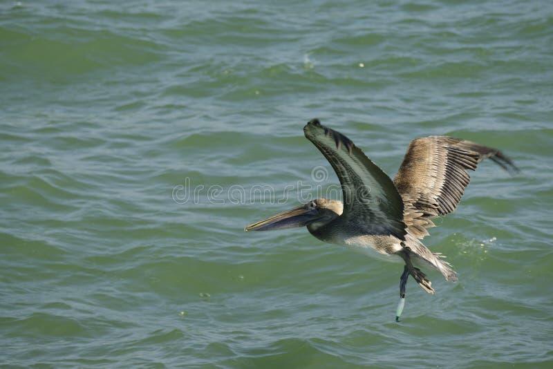 Het bruine Pelikaan vliegen stock afbeeldingen