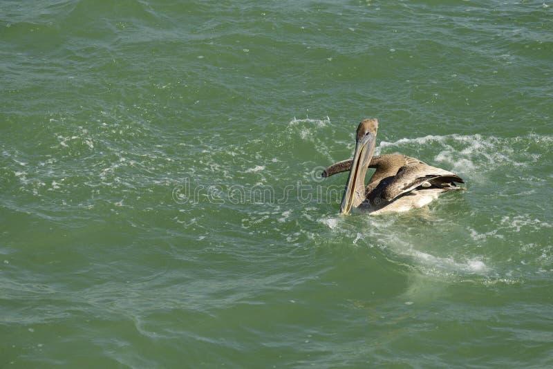 Het bruine Pelikaan zwemmen stock afbeelding
