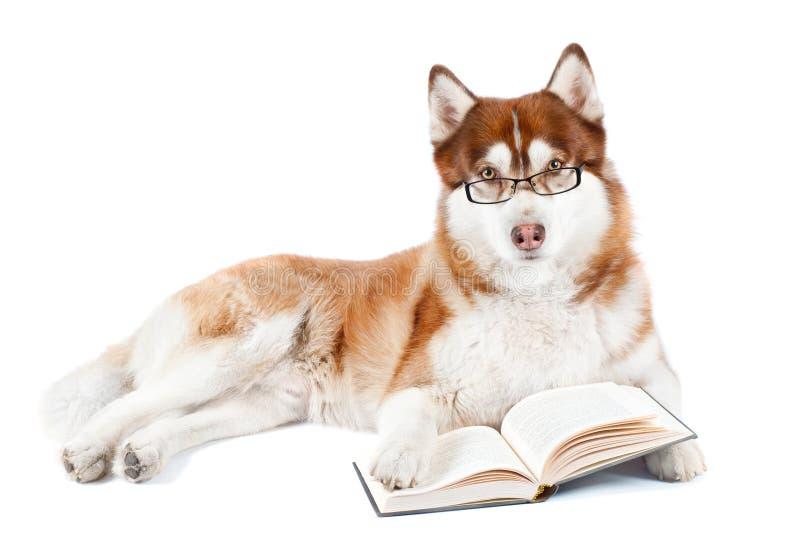 Het bruine Siberische schor boek van de hondlezing in bril stock fotografie