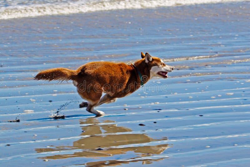 Het bruine Siberische Schor lopen langs strand royalty-vrije stock afbeelding
