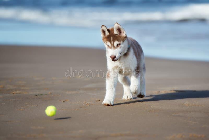 Het bruine Siberische schor puppy spelen op een strand royalty-vrije stock afbeeldingen