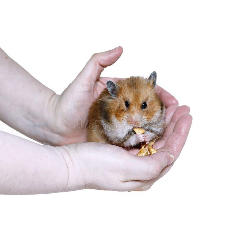 Het bruine Syrische hamster eten, die voedsel in wangen vullen stock fotografie