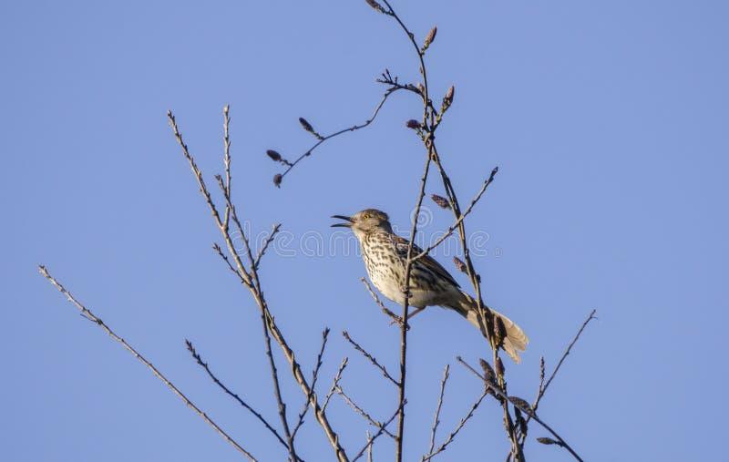 Het bruine Thrasher-vogel zingen in een boom, Georgië de V.S. stock afbeelding