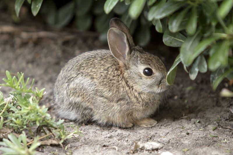 Het bruine verbergen van Babybunny rabbit in de struiken stock fotografie