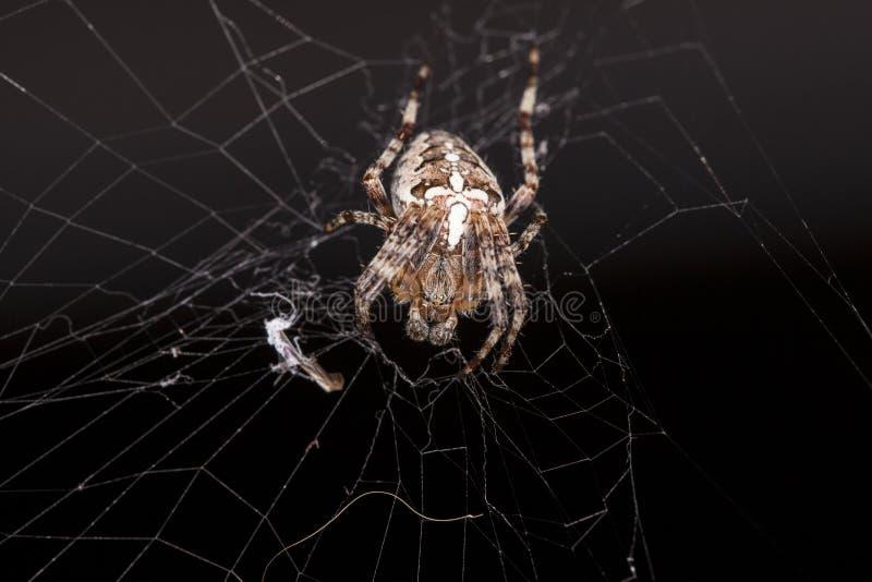 Het buigen spinzitting op een spinneweb royalty-vrije stock foto's