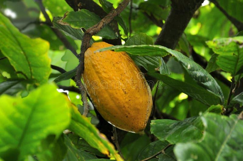 Het cacaofruit rijpt op de bomen stock afbeelding