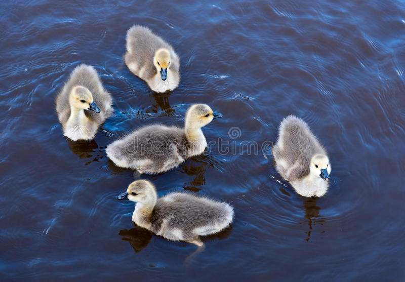 Het Canadese Gansjes Zwemmen stock afbeeldingen