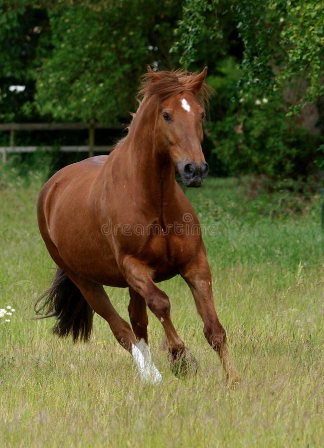 Het cantering van het paard in paddock stock foto's