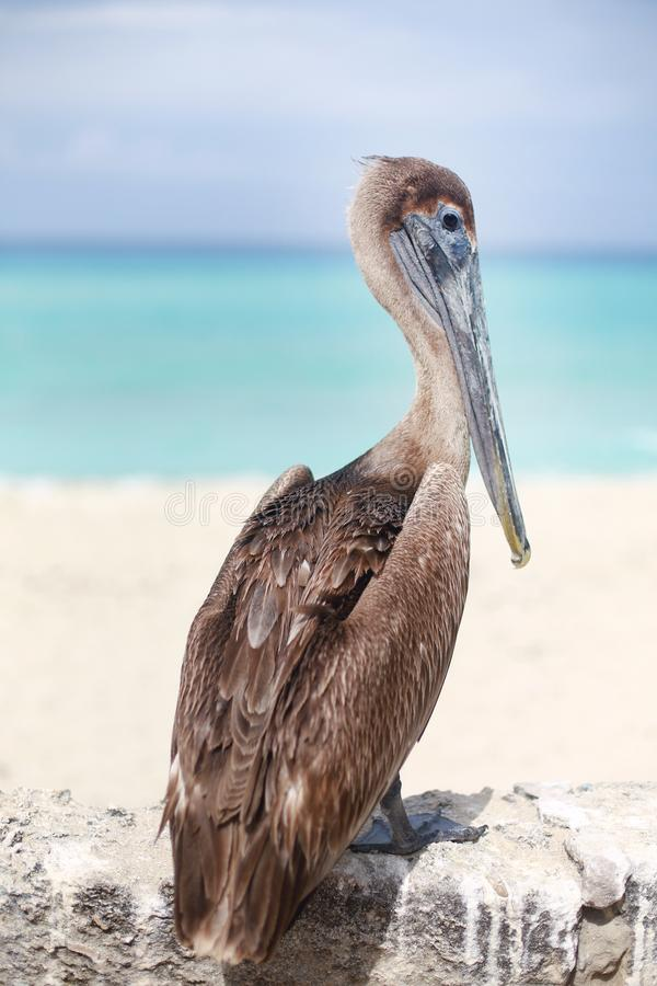 Het Caraïbische bruine Pelikaan stellen voor fotograaf door het overzees stock afbeelding