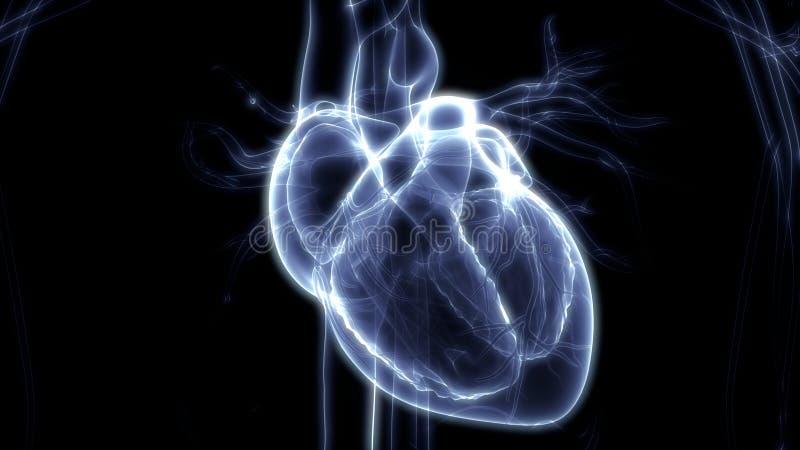 Het Cardiovasculaire Systeem van menselijk Lichaamsorganen met Hartanatomie stock illustratie