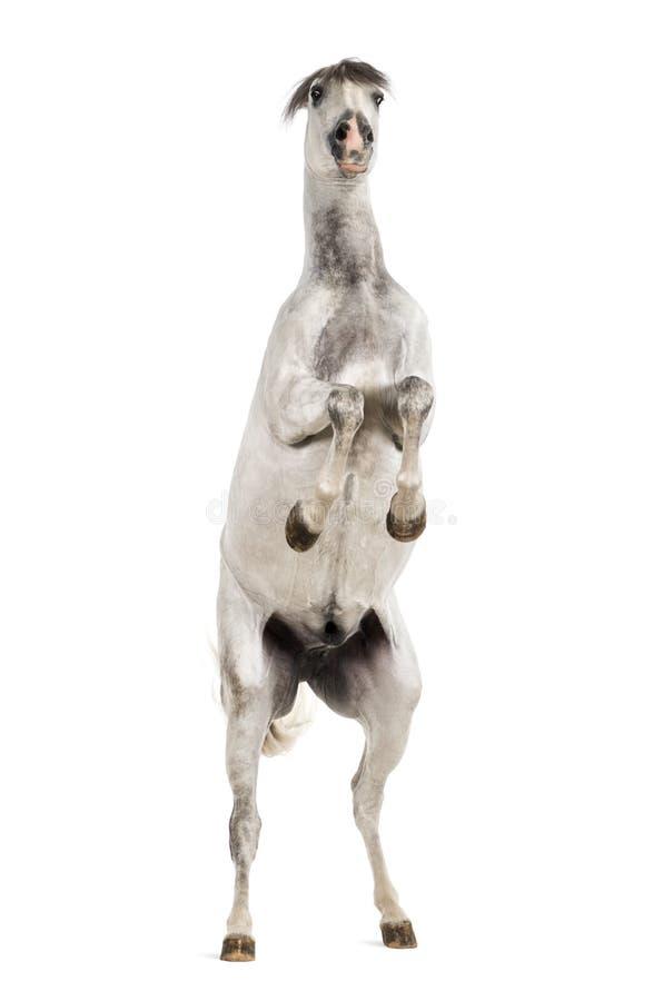 Het $ce-andalusisch paard grootbrengen stock afbeeldingen