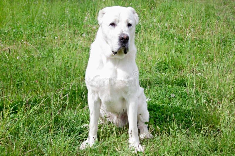 Het centrale Aziatische puppy van HerdersDog zit op een groen gras royalty-vrije stock foto's