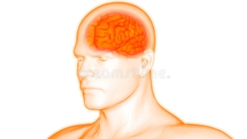 Het Centrale Orgaan van menselijk Lichaamsorganen van Brain Anatomy royalty-vrije illustratie