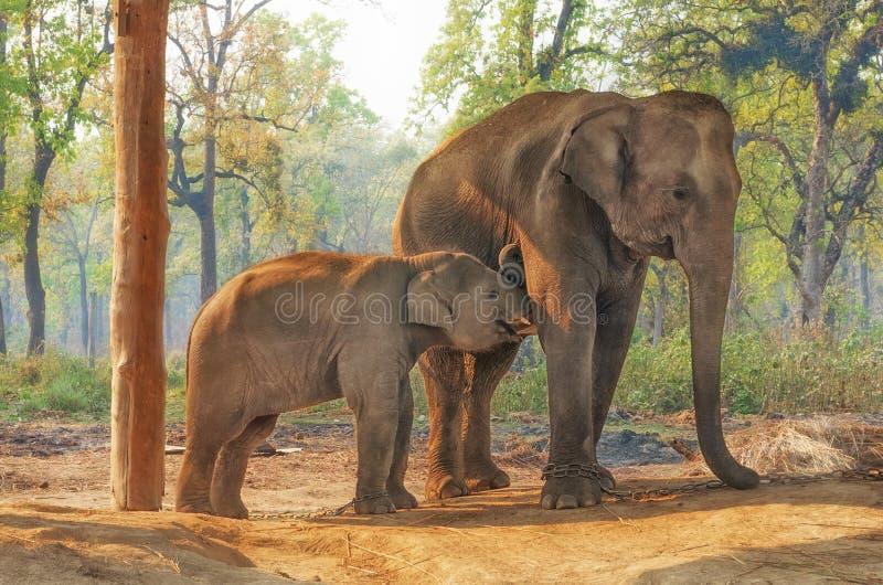 Het Centrum van het olifantsfokken in Chitwan, Nepal stock afbeeldingen