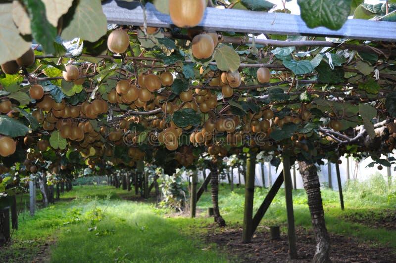 Het Chinese de kruisbes van Kiwi Fruit groeien op de wijnstok royalty-vrije stock afbeeldingen