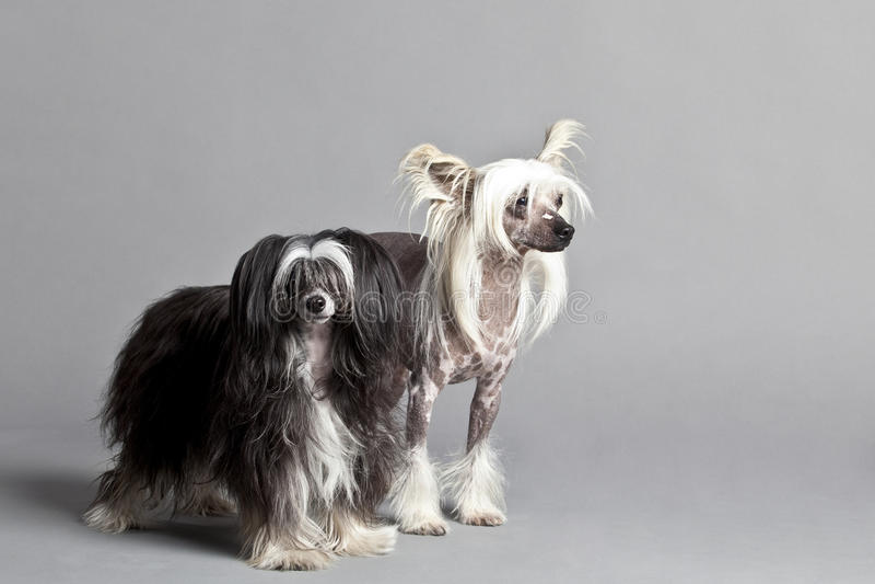 Het Chinese KuifPaar Van De Hond Royalty-vrije Stock Afbeeldingen