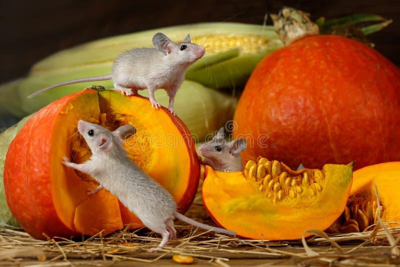 Het close-up drie jonge muizen beklimt op oranje pompoen in het pakhuis royalty-vrije stock foto