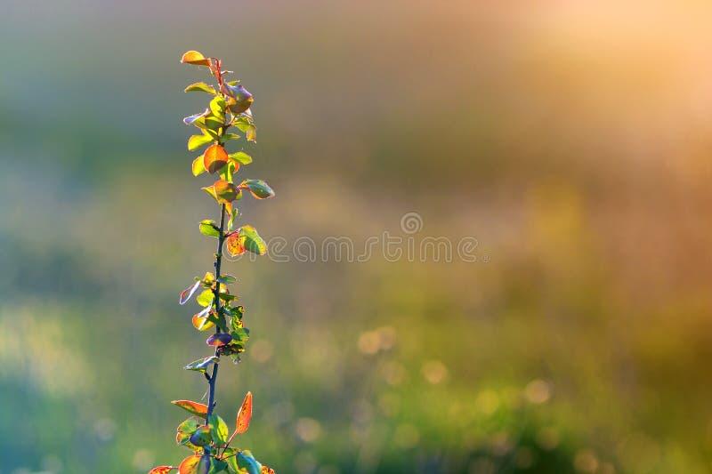 Het close-up van aangestoken door de zomerzon isoleerde fruitpeer of de brunch van de appelboom met spindraad op groene bladeren  stock foto