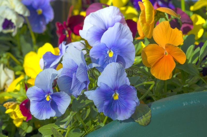 Het close-up van het bloemenviooltje stock foto's