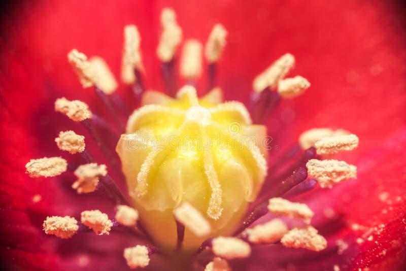 Het close-up van de centrumpapaver, macroschot royalty-vrije stock afbeelding
