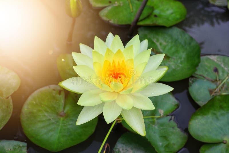 het close-up van de gele lotusbloembloem werd geplant in de vijver En neem goede zorg van botanische tuin Mooie natuurlijk royalty-vrije stock foto's