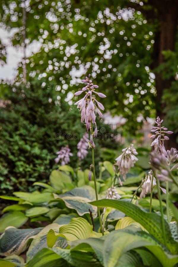 Het close-up van de Hostabloei, een groep bloeiende installaties in de tuin stock fotografie