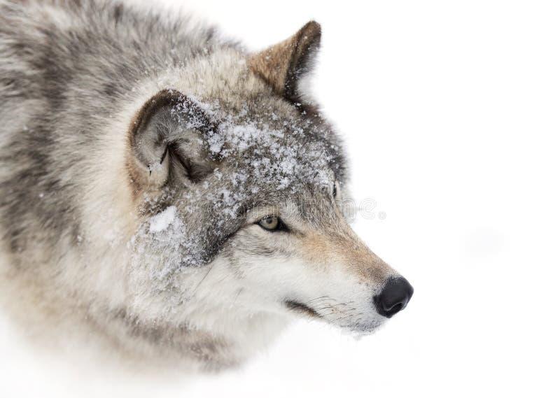 Het close-up van de houtwolf in de wintersneeuw royalty-vrije stock afbeelding