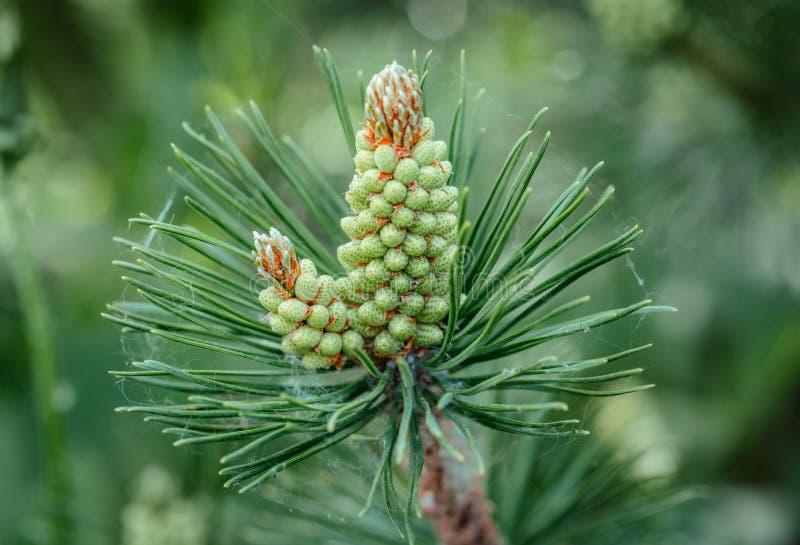 Het close-up van de pijnboombloesem Pijnboomtak met geel stuifmeel, kegel in Zonnig weer De bloesems van de bergpijnboom Altijdgr royalty-vrije stock afbeelding