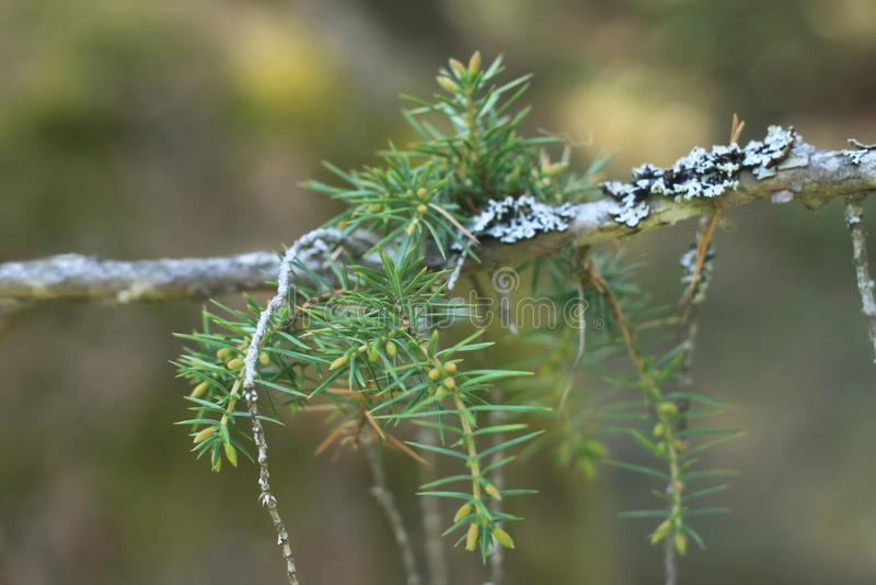 Het close-up van de pijnboomtak, groene boom, stock foto