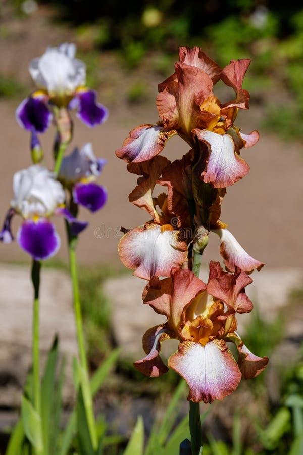 Het close-up van de rode Gebaarde Iris van bloembloemblaadjes, Schrijver uit de klassieke oudheid kijkt verscheidenheid met blauw stock foto