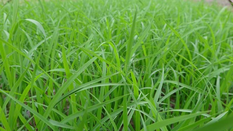 Het close-up van de zaailingen, dit is de zaailingen door de landbouwers worden gecultiveerd die stock foto