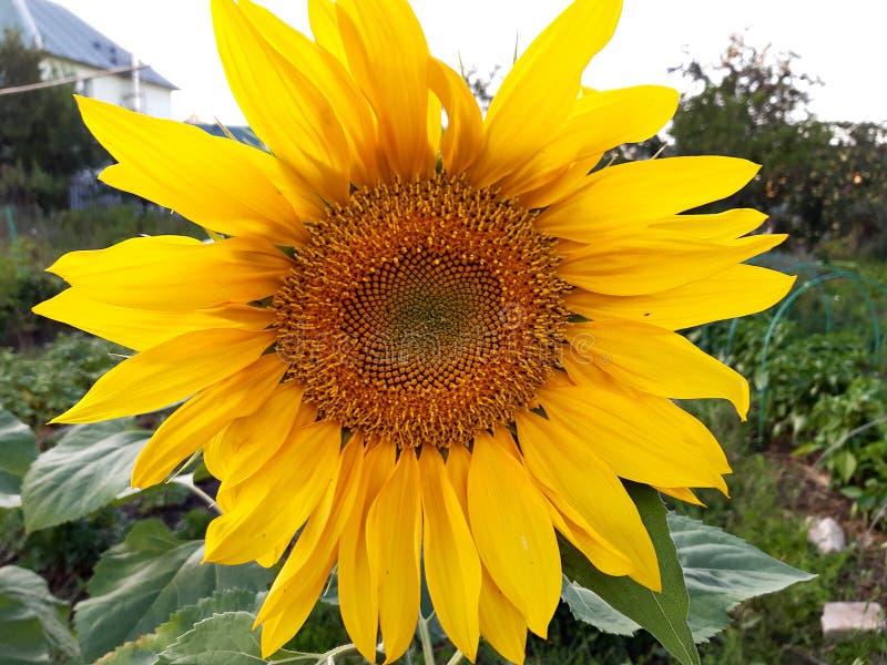 Het close-up van de zonnebloembloem tegen de hemel stock fotografie